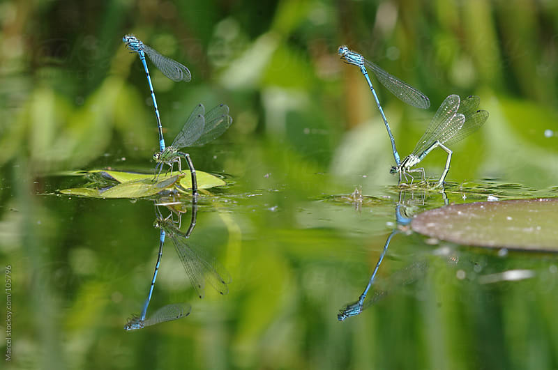 Mating damselflies by Marcel for Stocksy United