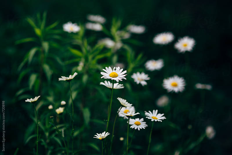 White daisies in bloom by Soren Egeberg for Stocksy United