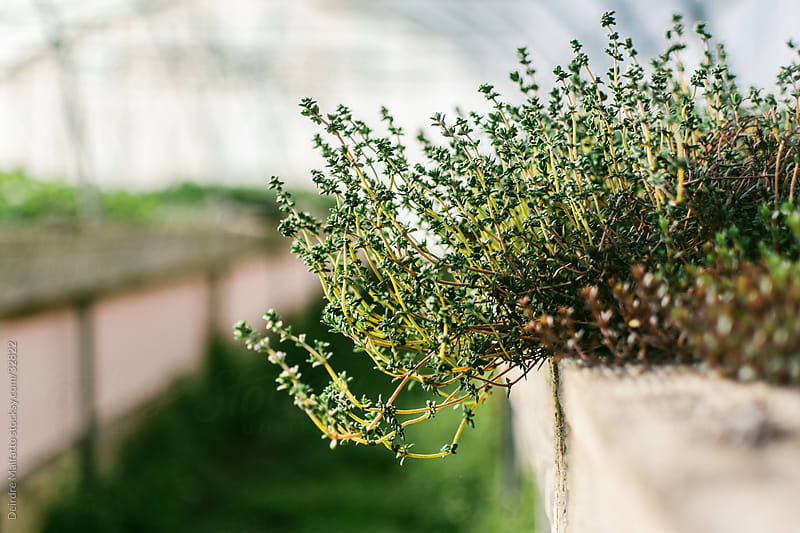 Thyme Plant Growing in a Greenhouse by Deirdre Malfatto for Stocksy United
