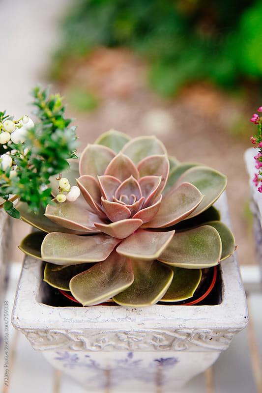 Succulent in a pot by Andrey Pavlov for Stocksy United