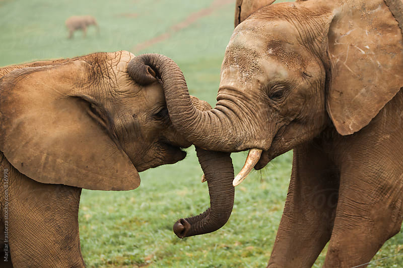 Two young elephants playing with their  trunks  by Marilar Irastorza for Stocksy United