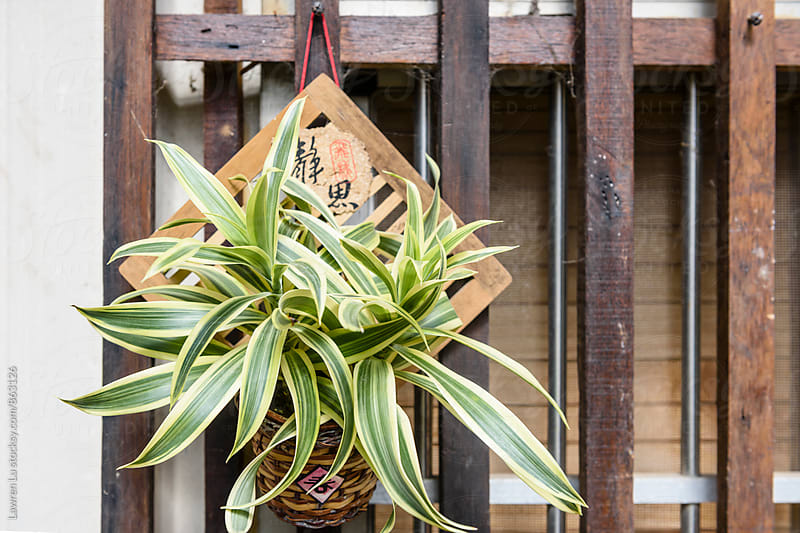 Green plant hanging on wooden door by Lawren Lu for Stocksy United