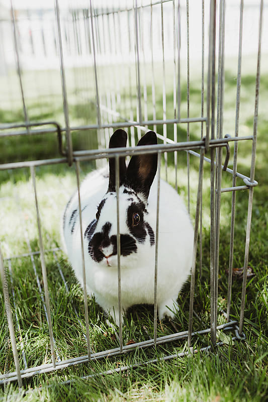 Caged Black and White Pet Rabbit in Yard