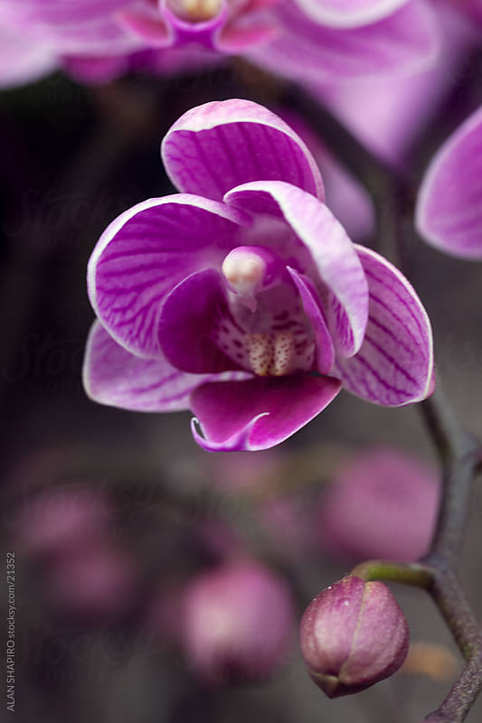 phalaenopsis orchids in bloom by alan shapiro for Stocksy United