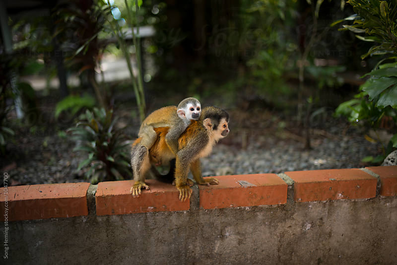 A baby squirrel monkey with his mother by Song Heming for Stocksy United