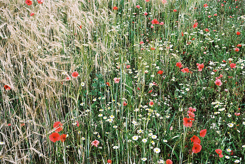 Poppies and wild flowers among barley. Norfolk, UK. by Liam Grant for Stocksy United