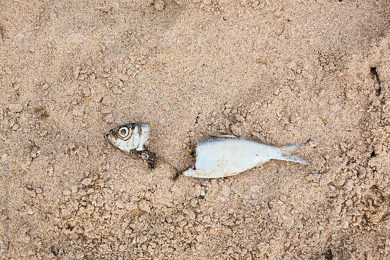 Dead fish on the beach by Mauro Grigollo for Stocksy United