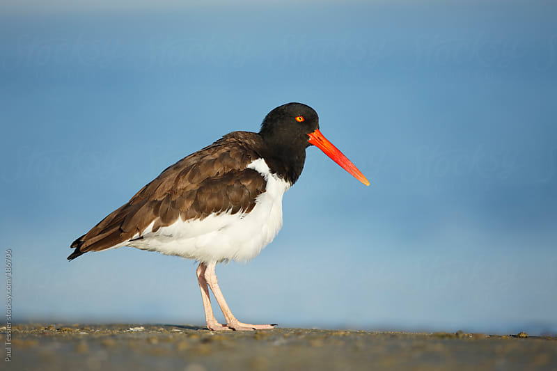 American Oystercatcher by Paul Tessier for Stocksy United