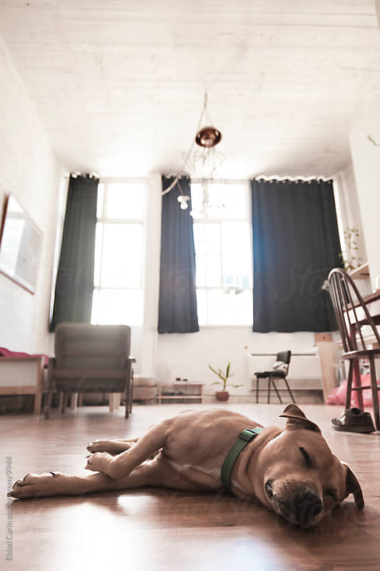 Dog Resting in Open Space Loft Apartment by Eldad Carin for Stocksy United