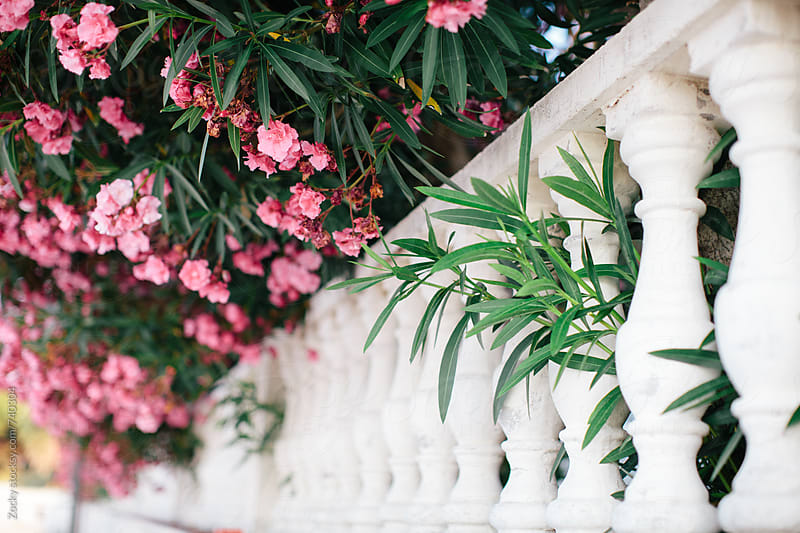 Pink bougainvillea and white balustrade by Zocky for Stocksy United