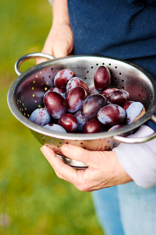 Harvested plums by Harald Walker for Stocksy United