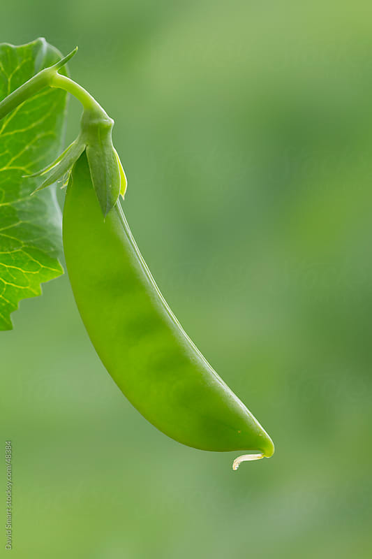 Sugar snap pea growing on a pea vine. by David Smart for Stocksy United