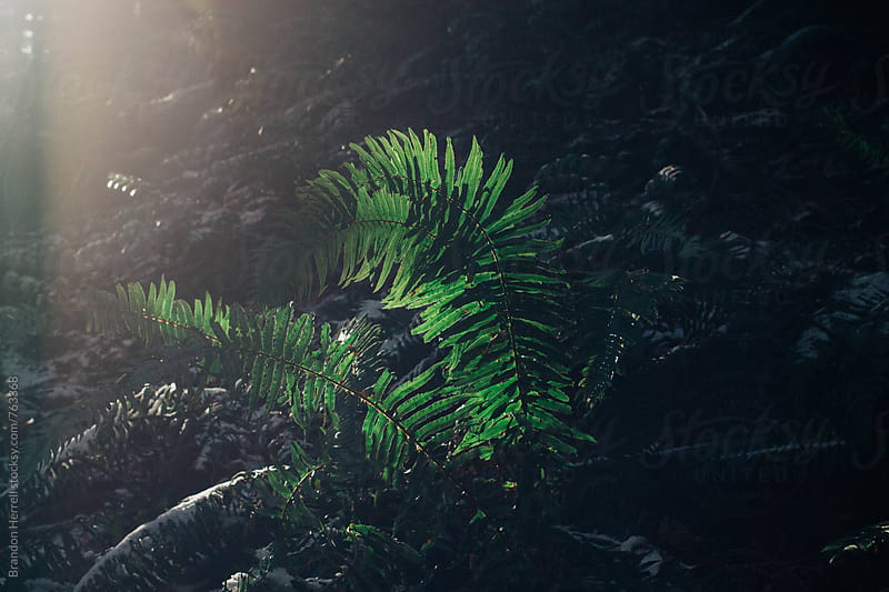 Fern Frond. by Brandon Herrell for Stocksy United