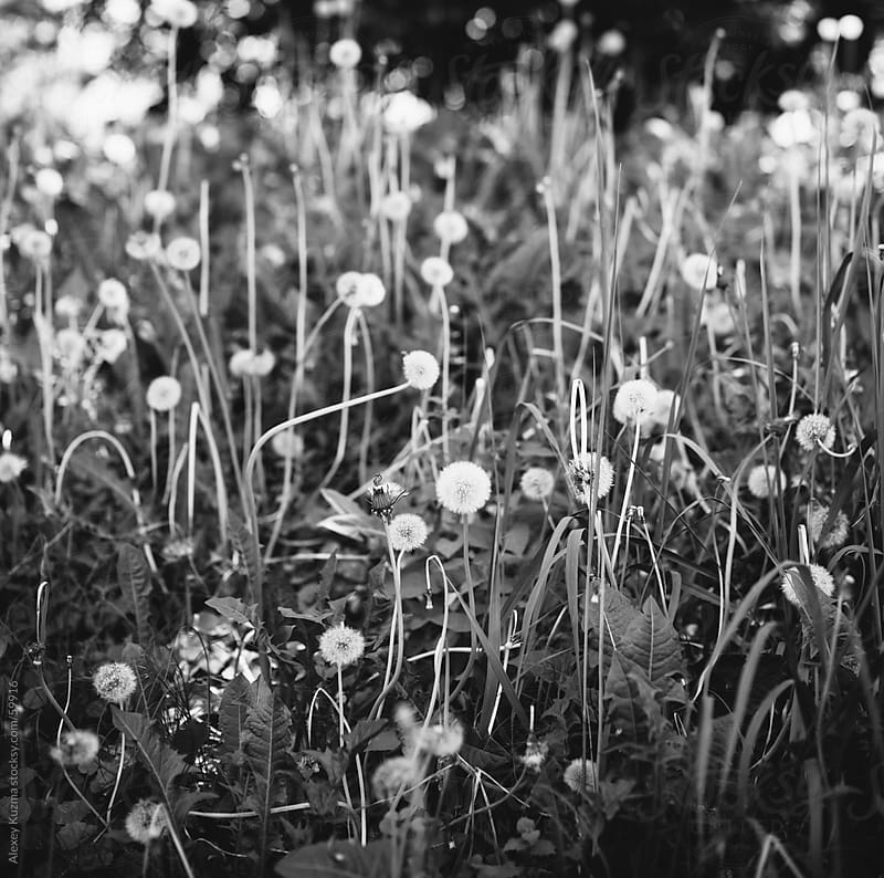 dandelions by Alexey Kuzma for Stocksy United