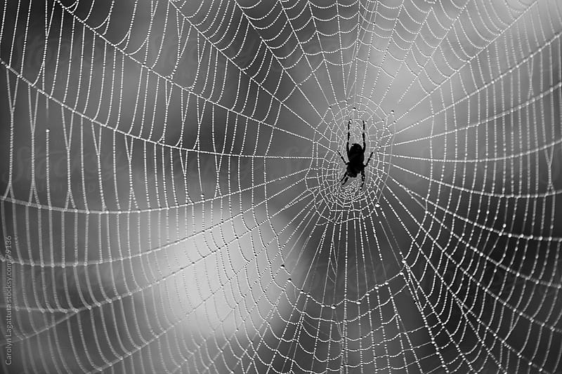 Black spider right in the middle of a dewy web by Carolyn Lagattuta for Stocksy United