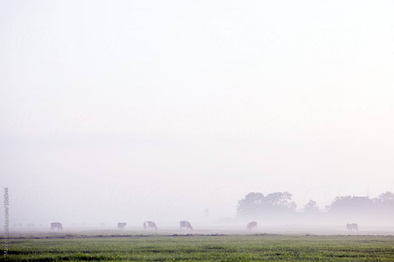 grazing cows on a misty morning by Marcel for Stocksy United