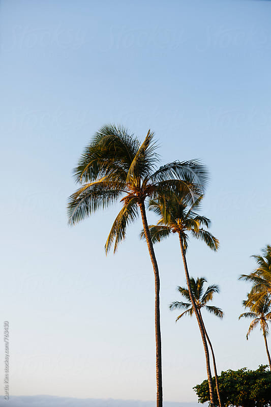 Hawaiian palm trees with clear sky in the background by Curtis Kim for Stocksy United