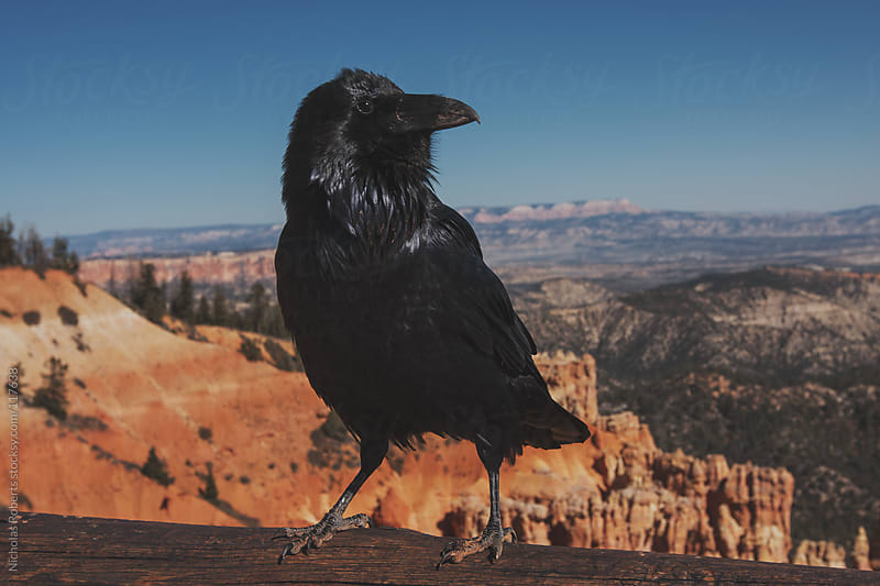 Bryce Canyon Raven by Nicholas Roberts for Stocksy United