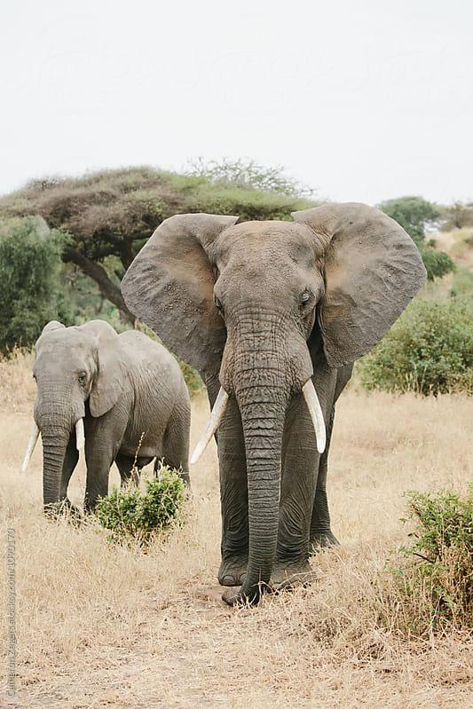 two elephants walking by Cameron Zegers for Stocksy United