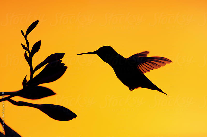 Hummingbird in Silhouette by Paul Tessier for Stocksy United