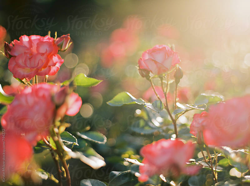Roses at sunset by Kirstin Mckee for Stocksy United