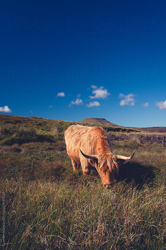 Highland cattle grazing on the isle of skye by Leander Nardin for Stocksy United