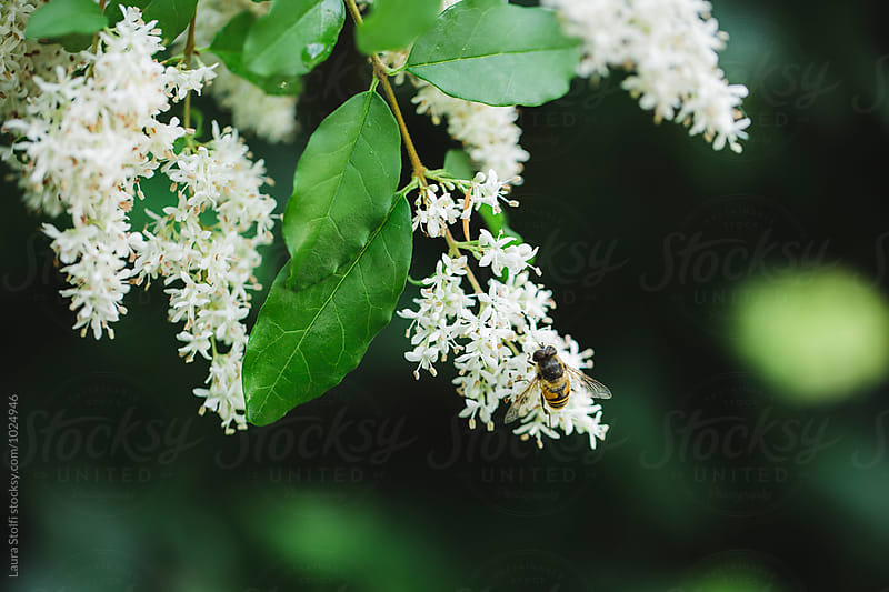 Hoverfly perching on european privet flowers by Laura Stolfi for Stocksy United