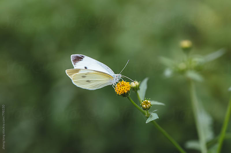 butterfly on the wild flower by zheng long for Stocksy United