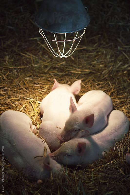 Piglets asleep under a heat lamp by Helen Rushbrook for Stocksy United