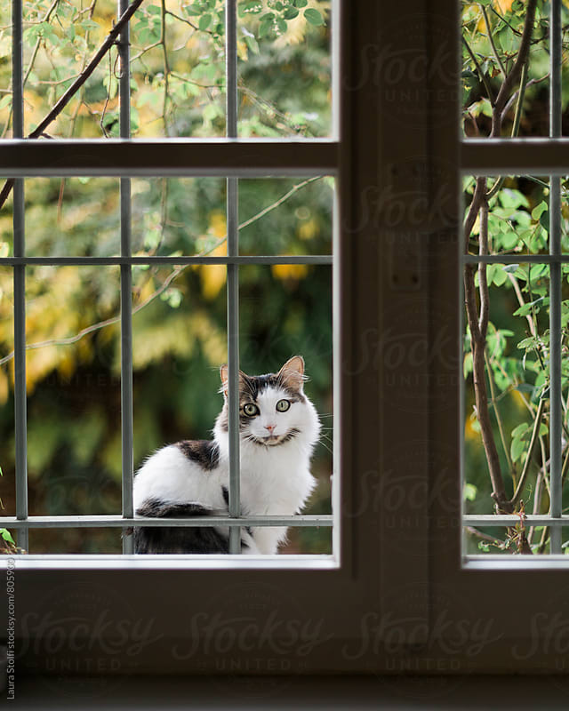 Young cat waits to come in and sitting on windowsill and staring inside by Laura Stolfi for Stocksy United
