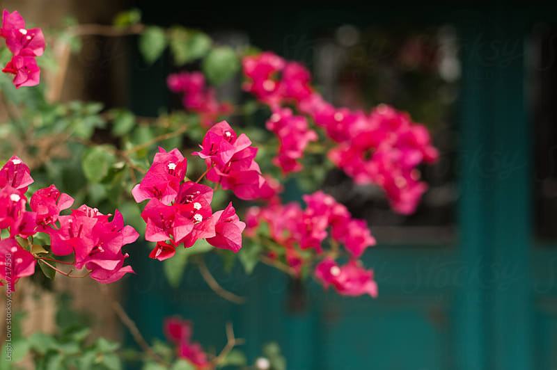 Pink Bouganvillea and a Turquoise Front Door by Leigh Love for Stocksy United