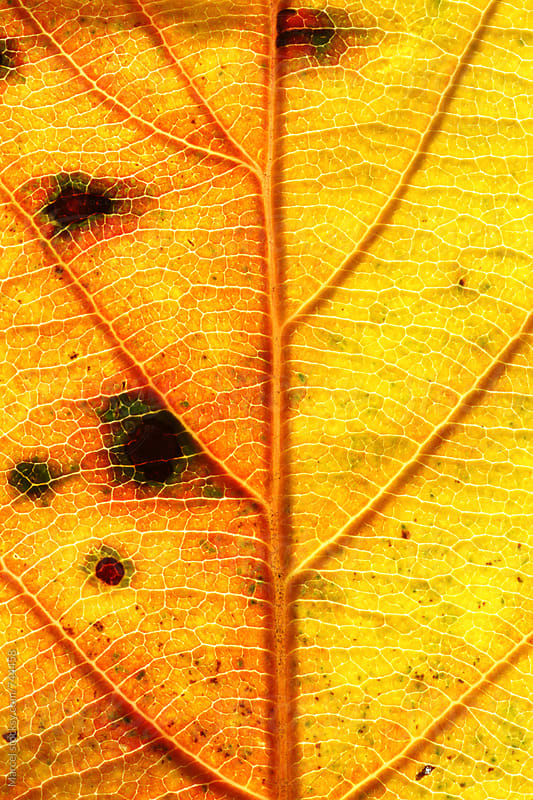Vibrant autumn leaf macro by Marcel for Stocksy United