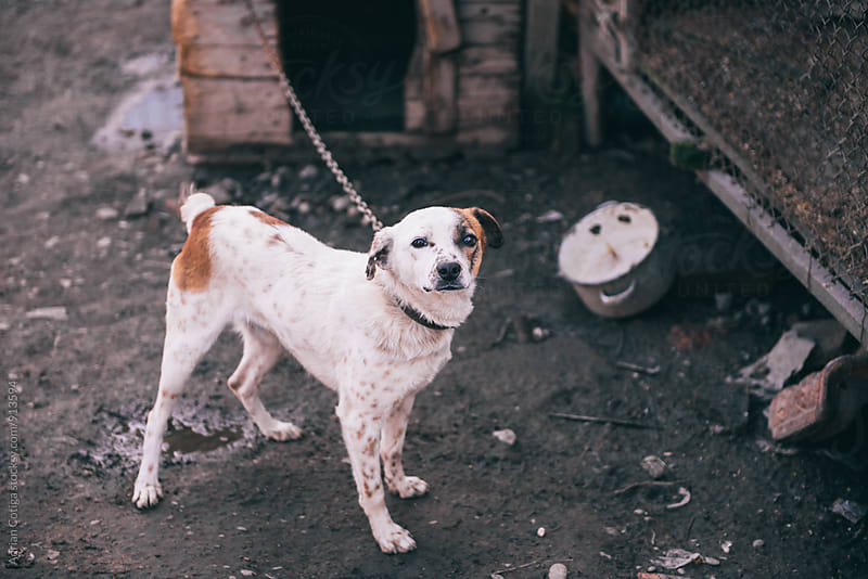 White dog in a chain by Adrian Cotiga for Stocksy United