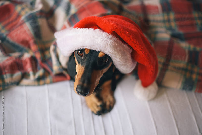 Adorable black dog wearing Santa Claus hat by VeaVea for Stocksy United