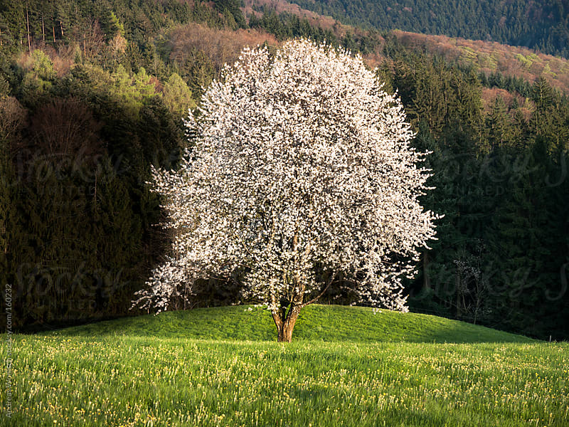 Apple  Tree during Blossom in the Black Forest by Andreas Wonisch for Stocksy United
