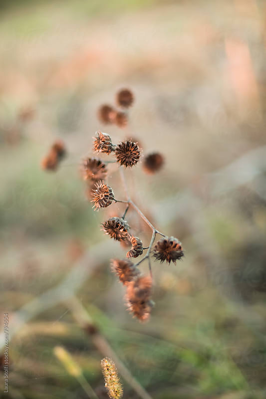 Dried wild grasses on shrub in golden hour light by Laura Stolfi for Stocksy United