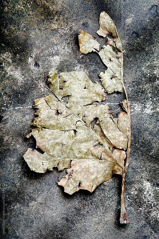 A decaying leaf by James Ross for Stocksy United