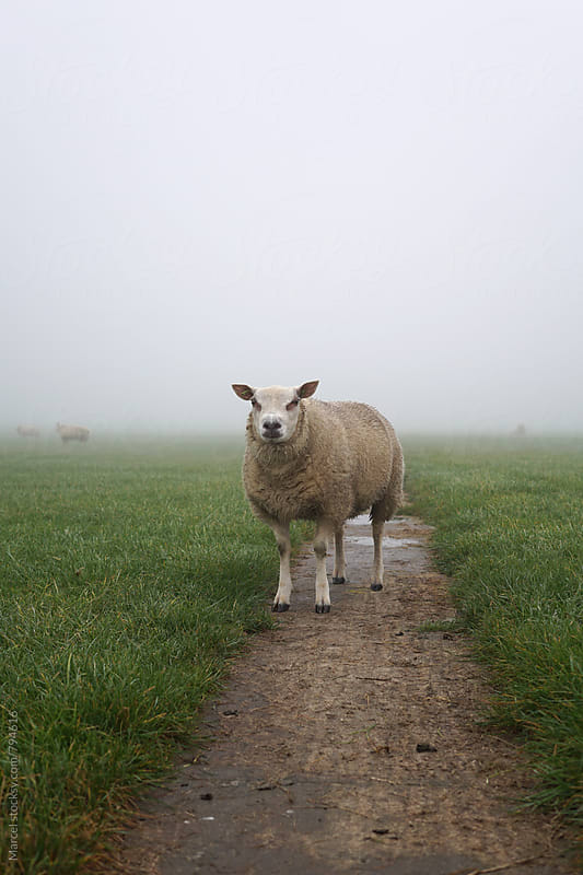 Sheep on path in foggy field by Marcel for Stocksy United