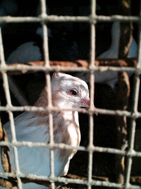 Caged Pigeon by Eldad Carin for Stocksy United