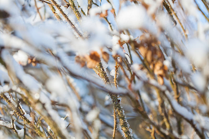 Bushes Covered in Snow as Winter Background by Mosuno for Stocksy United