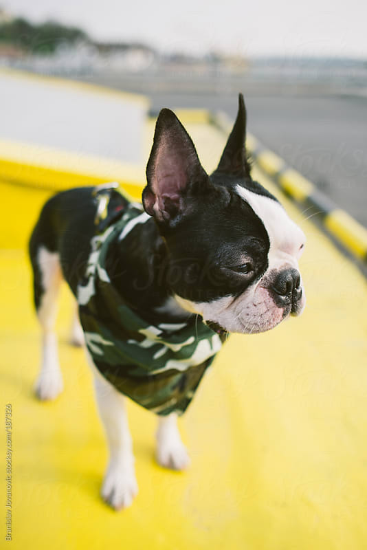 Boston terrier with camouflage scarf by Branislav Jovanovic for Stocksy United