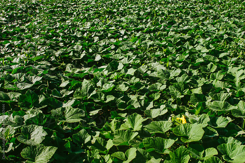 field of squash plants by Deirdre Malfatto for Stocksy United