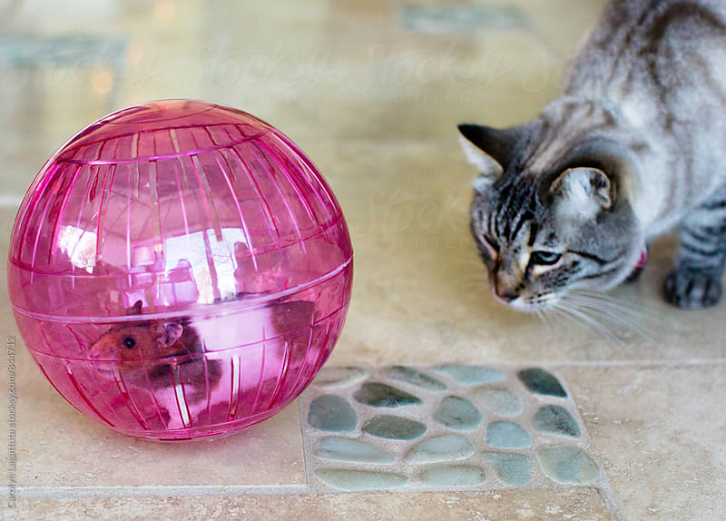 Siamese cat curiously looking at a hamster in a ball by Carolyn Lagattuta for Stocksy United