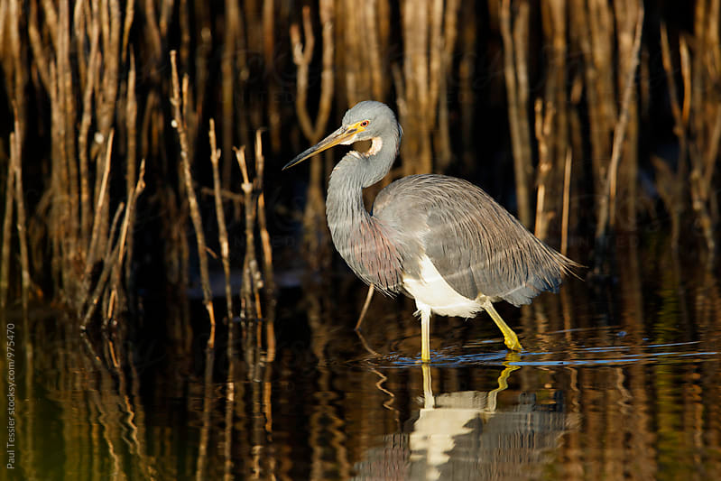 Tricolored Heron by Paul Tessier for Stocksy United