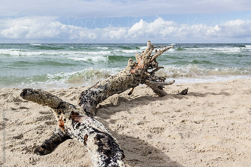 Tree trunk washed ashore by Melanie Kintz for Stocksy United