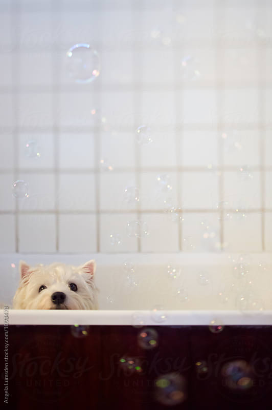 Dog with bubbles in a bath by Angela Lumsden for Stocksy United