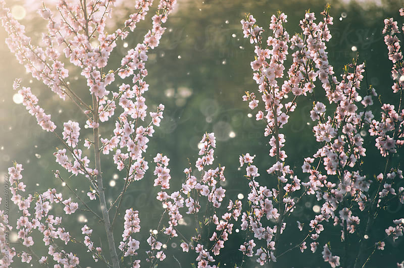 Cherry tree bloom by Cosma Andrei for Stocksy United