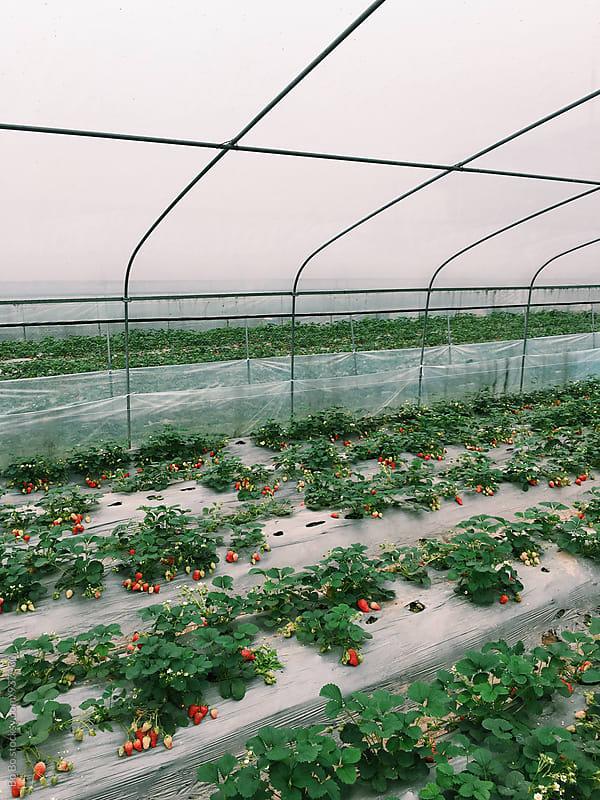 strawberry farm by cuiyan Liu for Stocksy United