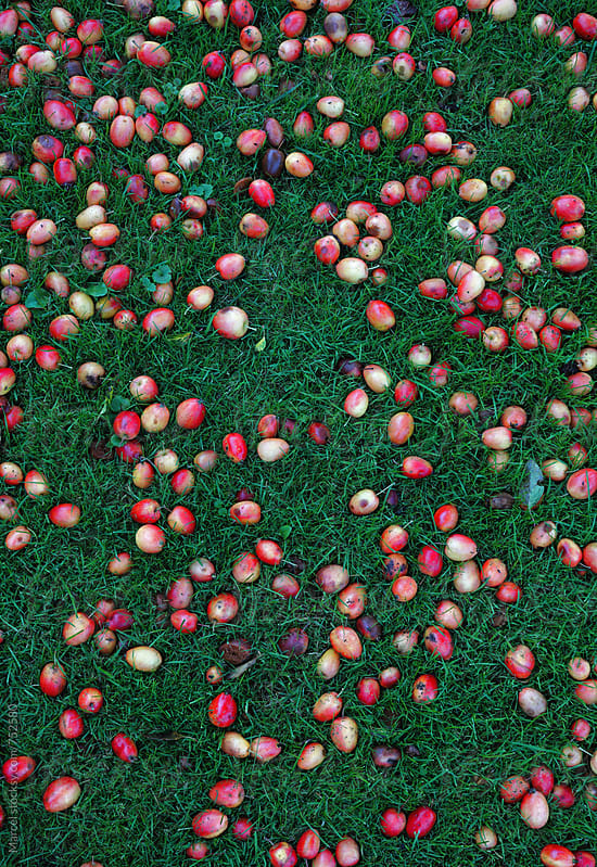 Plums fallen from the tree, onto the grass by Marcel for Stocksy United