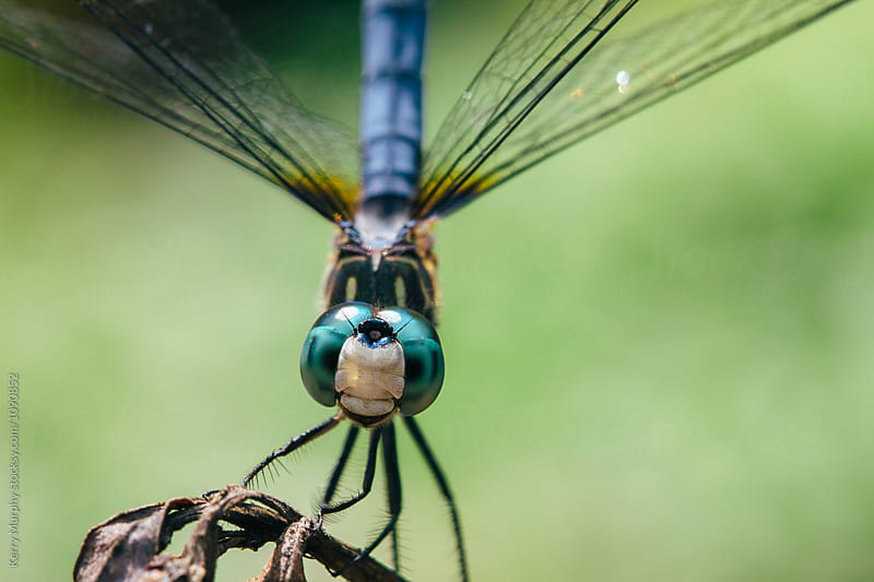 Macro of blue skimmer dragonfly by Kerry Murphy for Stocksy United